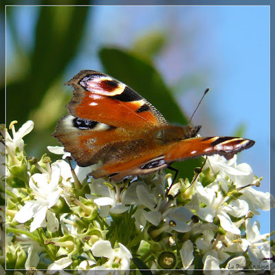 papillon_12_09_09.jpg