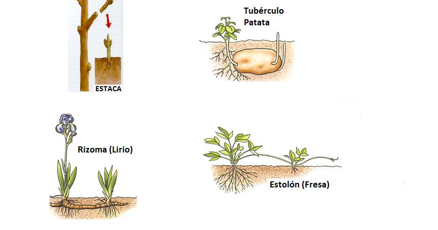 Ciencias naturales reproducci n for Planta ornamental que se reproduzca por esquejes