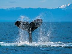 ¡¡Las ballenas en el Sur de la Rep. Arg.!!