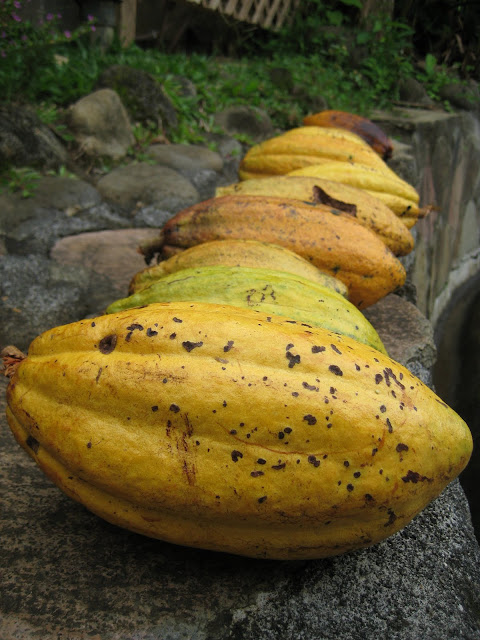cacao pods, picked