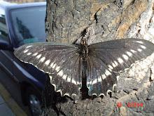 Señora Mariposa