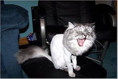 A Cat with Lion Cut