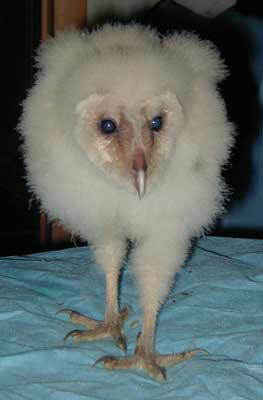 Kitty stampede baby barn owls for What owls look like without feathers
