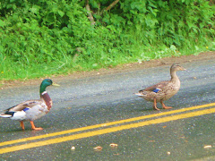 smoky mountain ducks