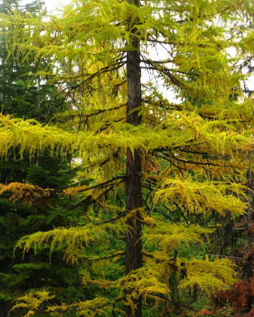 larch1
