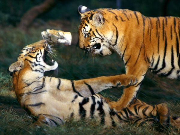 save tiger india essay