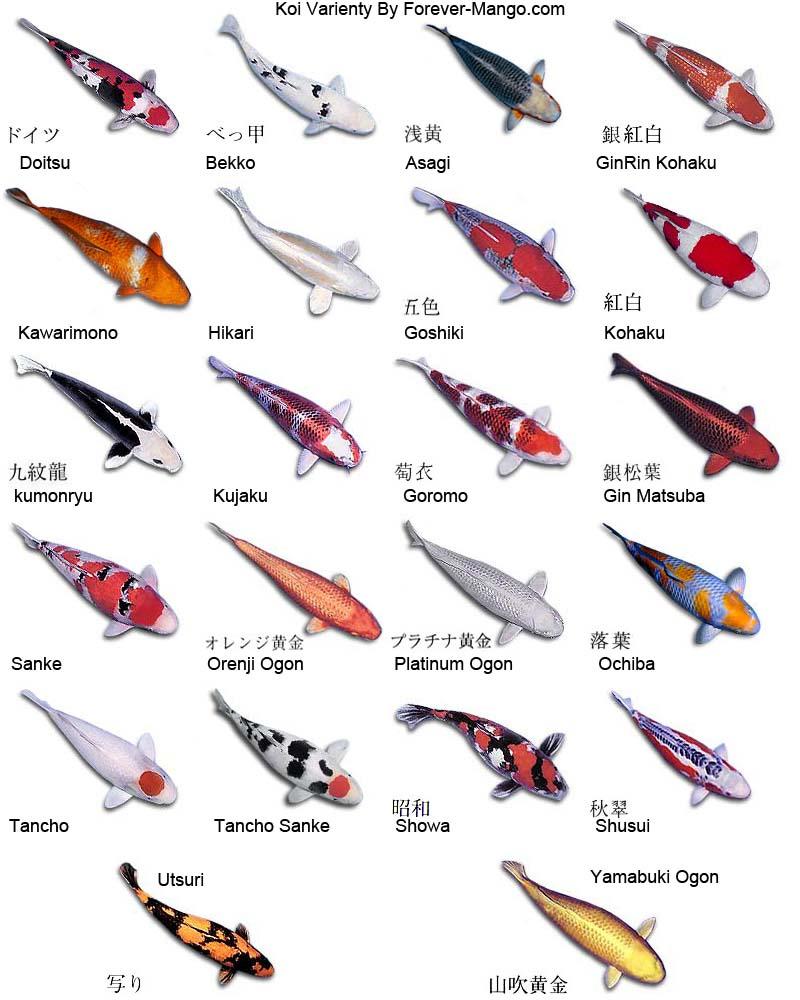 Koifish koi varieties for Koi and carp