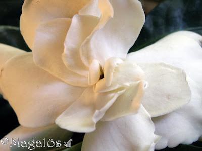 Närbild på en Gardeniablomma.