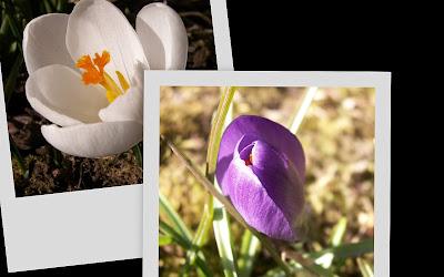 Collage med två bilder av krokus, en vit och en lila.