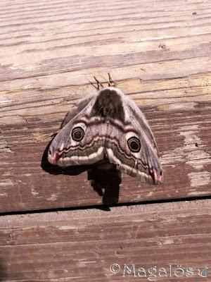 Fjäril (2)