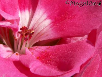 Närbild på en rosa pelargon.