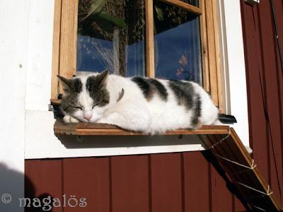 Kattherren ligger i sommarsolen och latar sig på fönsterbrädan.