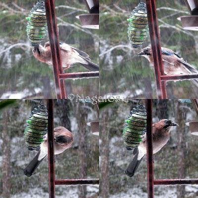 Collage med fyra bilder av en nötskrika som äter av talgbollen.