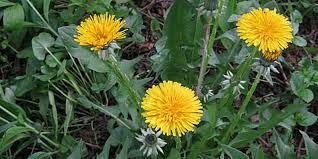 How to treat hives with Taraxacum Officinale