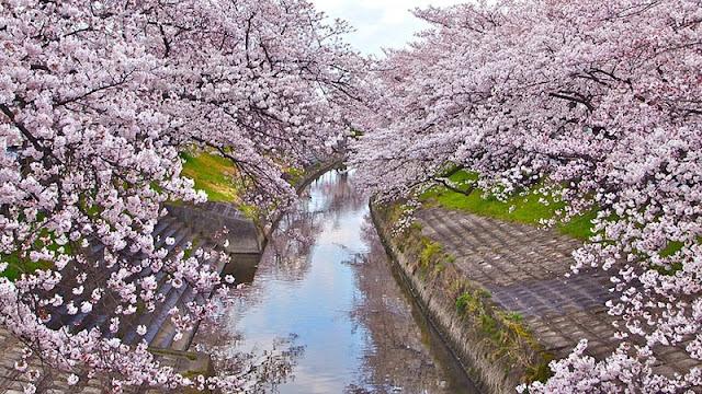 Chùm ảnh đẹp Hoa Anh Đào Nhật Bản vào tháng 02/2020 21