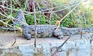 Crocodiles Near SRSP Scare People