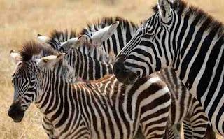जेबरा ची माहिती ▷ some facts about zebra in hindi