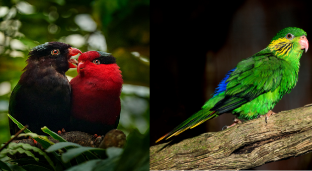 All About Charmosyna Parrots