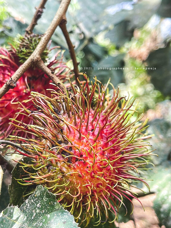 pokok buah rambutan gula batu