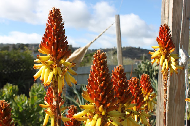Aloe wickensii in full bloom