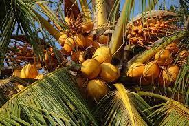 manfaat pohon kelapa