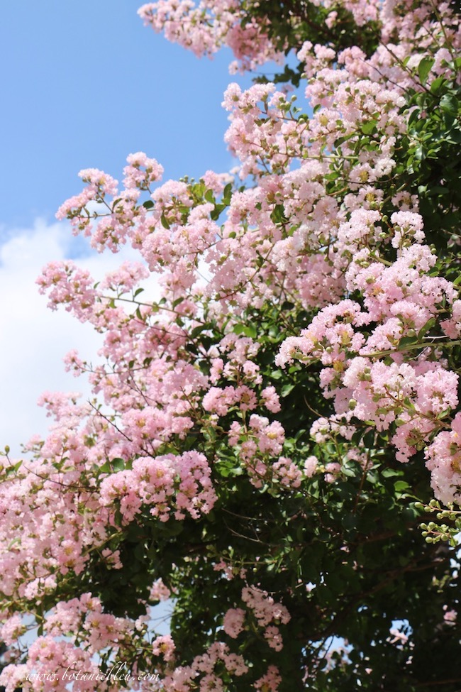 Pink crepe myrtle tree in full bloom could be called 'lilac in the South'