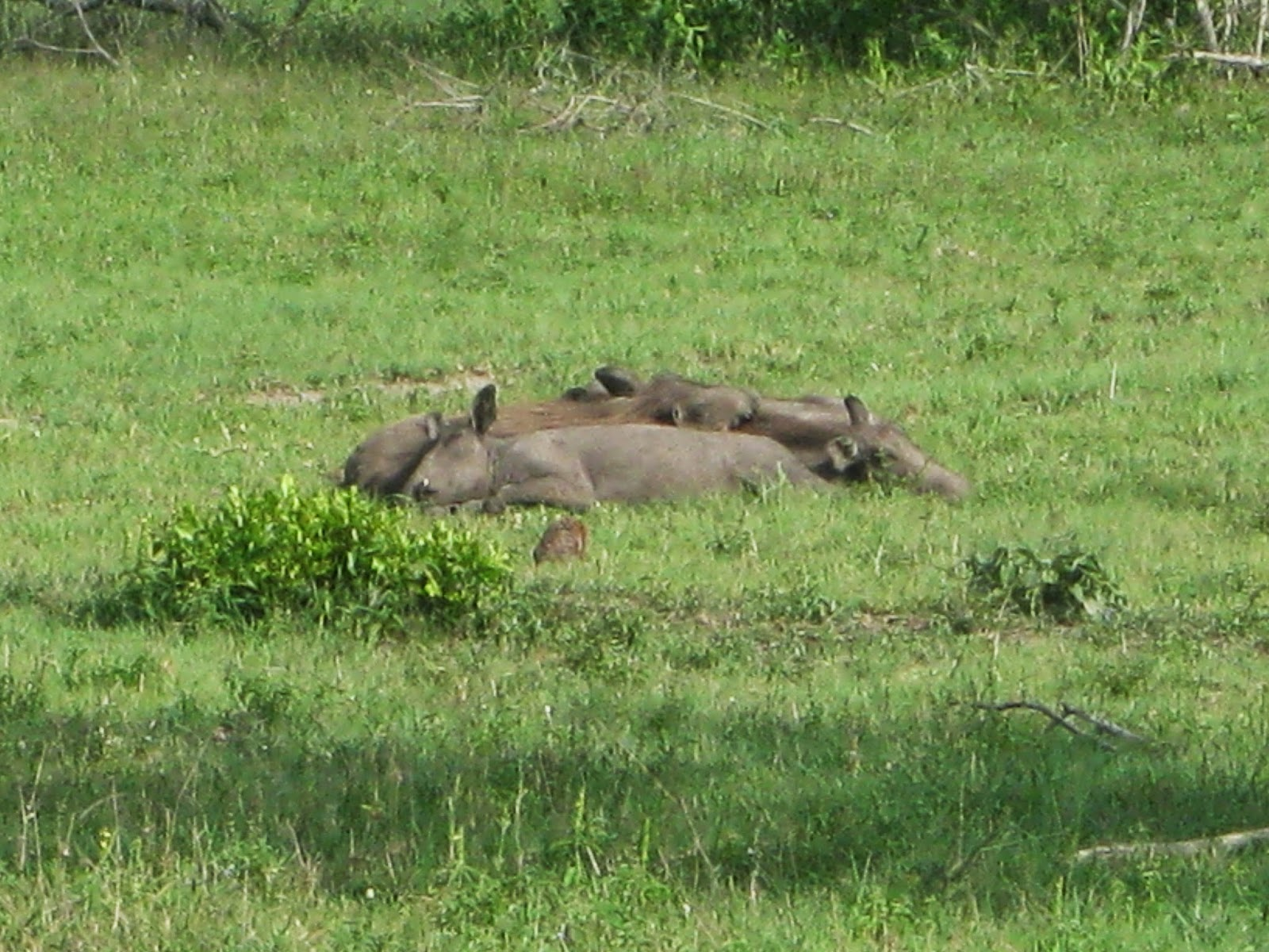 Sabi Sands - A pile of napping warthogs!
