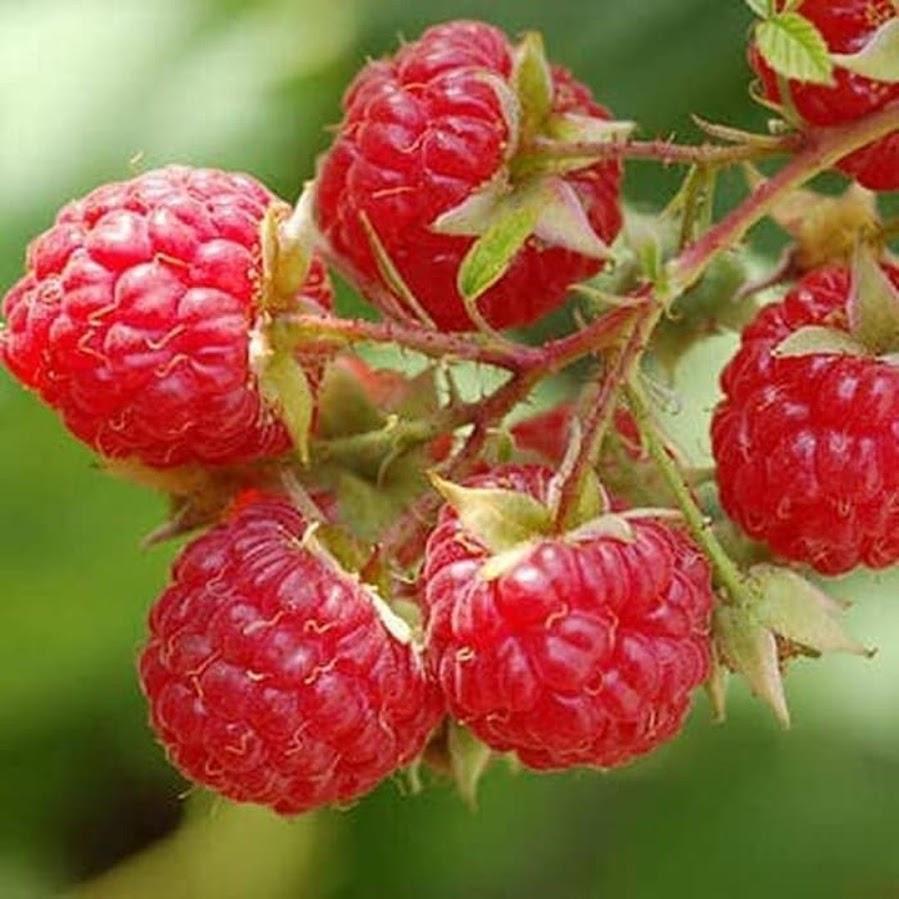 bibit tanaman buah raspberry raspberri rasberri rasberry rusberry Bekasi