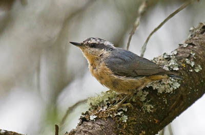 Photo of a fledgling Red-breasted Nuthatch on lichen-covered branch
