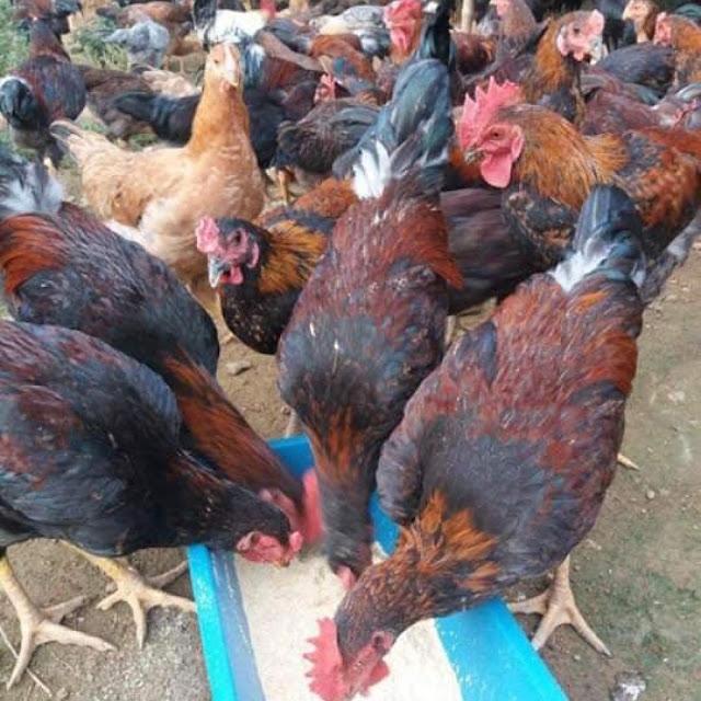 Trại giống Thu Hà - Địa chỉ bán gà chọi tại Hà Nội