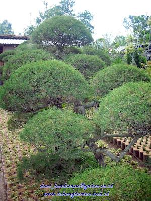 tanaman hias | tanaman bonsai | Tanaman pelindung | taman minimalis