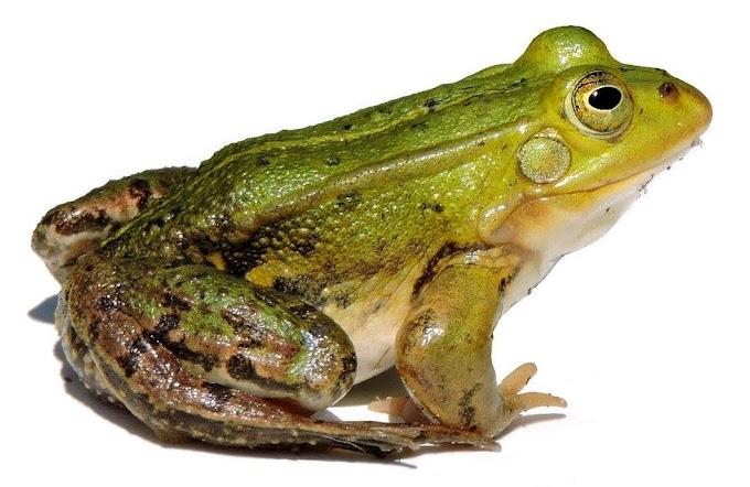 Zoologia | Amphibia