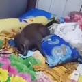 Viral Video Babi Tidur di Ranjang, Warga Menduga Siluman Babi Ngepet