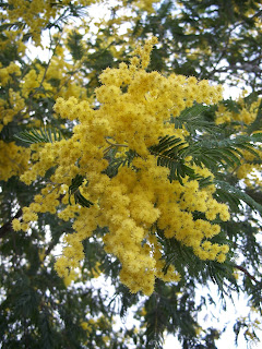 Mimosa flowers are the traditional gift to mark La Festa della Donna