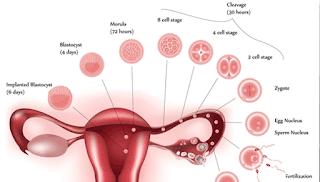 Proses Implantasi zigot di rahim