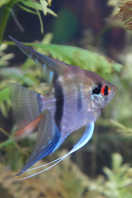 An adolescent silver angelfish