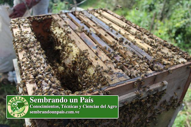 colmena de abejas en desarrollo