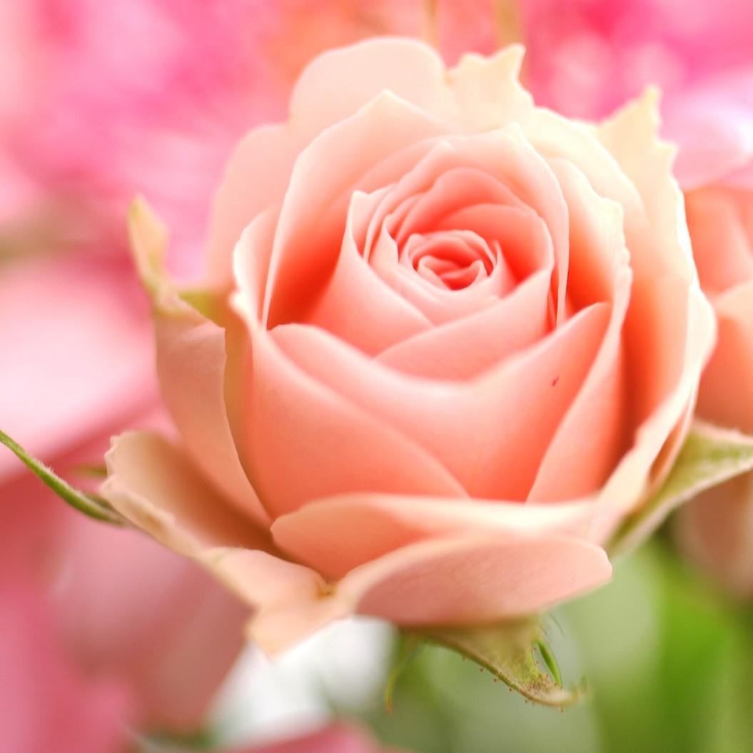 Wallpapers peach rose - Peach rose wallpaper ...