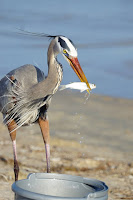 Great blue heron helping itself directly from fish pail, by Jodi Arsenault - Rockport beach, Texas