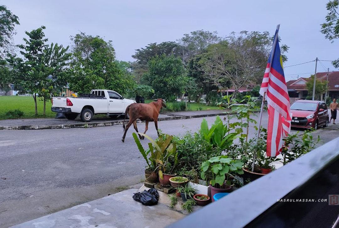 Lembu Sesat Terlepas dalam Taman Perumahan Waktu PKP