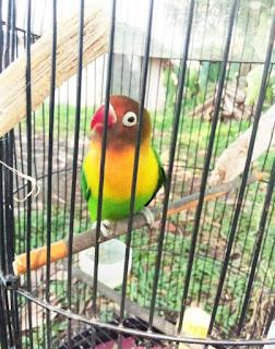 SUARA MASTERAN YANG COCOK BUAT BURUNG LOVEBIRD