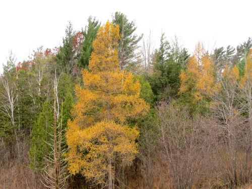autumn tamarack