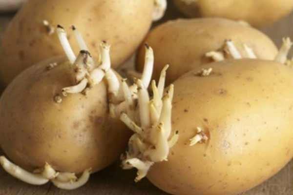arunca cartofii stricati pot fi toxici
