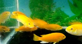 Beberapa indukan ikan lemon yang berkualitas