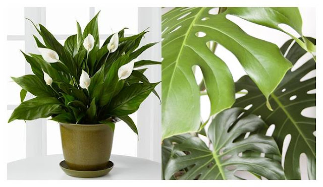 lily and monstera