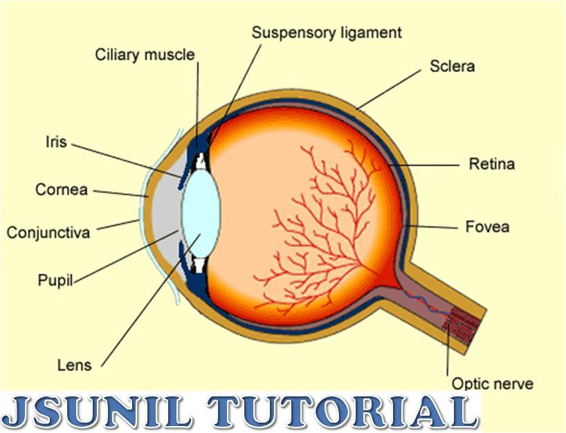 Human eye diagram class 10 introduction to electrical wiring cbse physics class 10 human eyes and colorful world commit to memory rh physicsadda blogspot com human eye diagram unlabeled diagram of the human nose ccuart Gallery