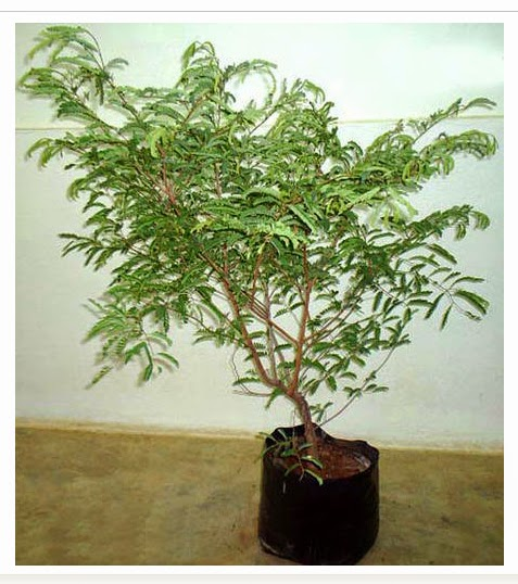 Tamarind Grafted Plant