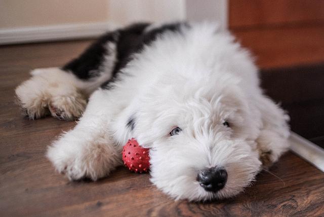 Puppies, sheepdog