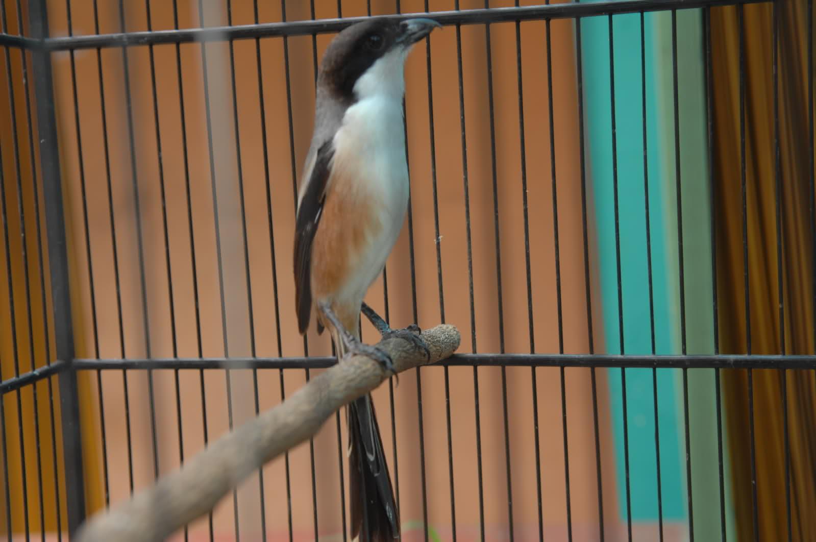Info Harga Telur Unggas Indonesia Burung Cendet Atau Burung Pentet