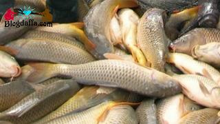 Panen Ikan Mas